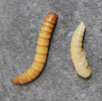 ver-de-farine-elevage-evolution